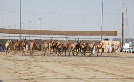 Camel race start in Doha Qatar Stock Photo