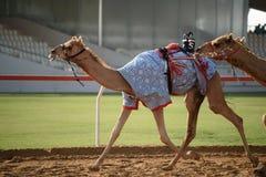 Camel race. In sunny desert Royalty Free Stock Image