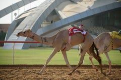 Camel race. In sunny desert Stock Photography