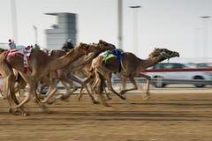 Camel race. In sunny desert Stock Image