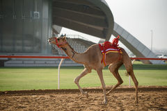 Camel race. In sunny desert Royalty Free Stock Photography
