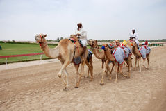 Camel racing Stock Photos