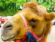 An camel raising head. A camel rising head at Shanghai wild animal park China Royalty Free Stock Photos