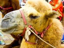 An camel raising head. A camel rising head at Shanghai wild animal park China Stock Images