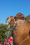 Camel  ready for fights Stock Photos