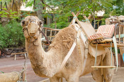 Camel ready for a ride. Horizontal photo Royalty Free Stock Photography