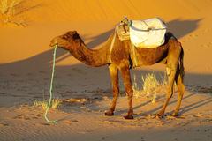Camel ready to ride in desert Royalty Free Stock Photos
