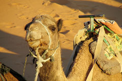 Camel ready to ride in desert Royalty Free Stock Photo