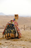 Camel ready for tourists Royalty Free Stock Photos