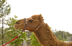 Camel on Red Rope Stock Photo