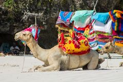 Camel with saddle and black man on the beach Royalty Free Stock Photo
