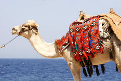 Camel by the red sea Royalty Free Stock Photos