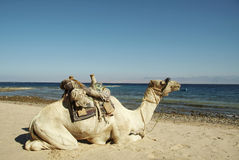 Camel on the Red sea coastlines Stock Images