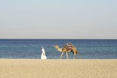 Camel in the red sea region stock photography