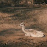 Camel relax Stock Photo