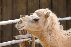 Camel relax in spring sunshine day. Stock Photos