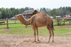 Camel relax in spring sunshine day. Royalty Free Stock Photography