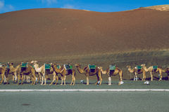 Camel relax in summer sunshine day . Spain, Lanzarote. Stock Images