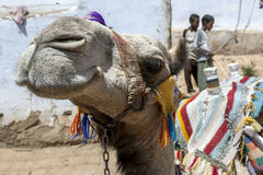 A camel relaxes in the Nubian village of Garb-Sohel in Egypt. Royalty Free Stock Image