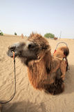 Camel. A camel in the rest Stock Images