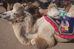 Camel. Rest on the ground royalty free stock photo