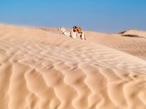 Camel rest near the dunes of Desert of Douz,Tunisia Stock Photography