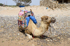 Camel resting Stock Images