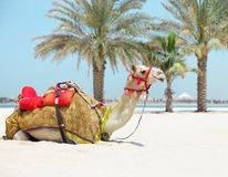 Camel resting on the beach Stock Photography