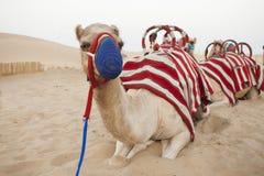 Camel resting in the desert. Safari royalty free stock photos