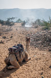 A camel resting in a desert. A shot of a camel resting before continuing the journey through the desert Stock Photo