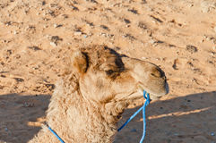 Camel resting at Erg Chebbi, Morocco Royalty Free Stock Photography