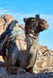 Camel on Mountain Sinai Royalty Free Stock Photos