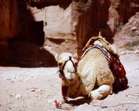 Camel resting at Petra, Jordan Stock Images