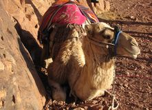 Camel. Resting on the road in the mountains Royalty Free Stock Photography