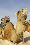 Camel resting in sand Stock Photo