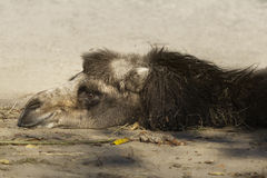 Camel resting on sand Stock Photo