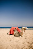 Camel resting on the sand. At the beach Stock Image