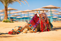 Camel resting in shadow on the beach of Hurghada Stock Photo