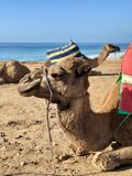 Camel Resting By The Shore Royalty Free Stock Image