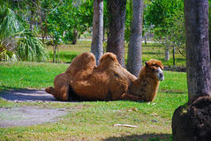 Camel. A camel resting in the sun Stock Photography