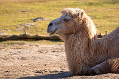 Camel resting in the wild Stock Photography