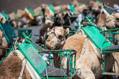 Camel rests. In the middle of the road Stock Images