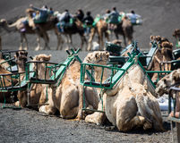 Camel rests. In the middle of the road Stock Photo