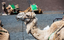 Camel rests. In the middle of the road Royalty Free Stock Photo