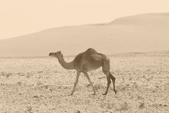 Camel retro. A camel roaming free in the Arabian desert. Monochrome, sepia tinted, similar to monochrome images in the books of old explorers stock photo