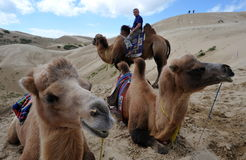 Camel ride. Tourists taking a camel ride in the desert in China, near Qinghai Hu in Qinghai province, western China, September 2009 Royalty Free Stock Images