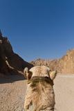 Camel ride royalty free stock image