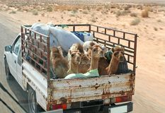 Camel Ride with a Difference. Fun road capture of Camels getting a Ride for a change. With some light motion blur as Camels hitch a lift in a beaten up old truck Stock Photography