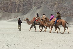Camel Ride In Nubra. Stock Photos