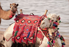 Camel Ride. The camel rides on the beach, camel and the little young of camel Royalty Free Stock Photos